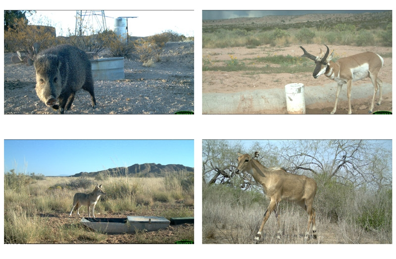 Figure 4. Example trail camera images. Clockwise from bottom left: coyote, javelina, pronghorn, and nilgai.